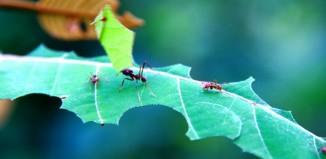 Insecticida natural